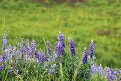 Lupines bleus, parc national de Yellowstone Photo stock