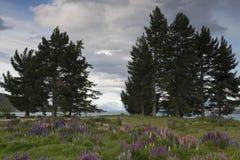 Lupines blomstrar på kusten av sjön Tekapo, Nya Zeeland Arkivfoton