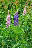 Lupines Royalty Free Stock Photo