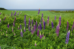Lupines blooming in Prince Edward Island Royalty Free Stock Photography