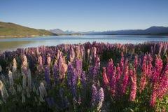 Lupines blossom at Lake Tekapo, New Zealand Stock Photo