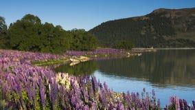 Lupines blossom at Lake Tekapo, New Zealand Stock Photos