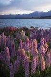 Lupines blossom at Lake Tekapo, New Zealand Stock Images