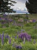 Lupines blossom on the shore of Lake Tekapo, New Zealand Stock Image