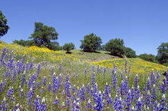 Lupines, California Poppies, and Oak Trees Stock Images