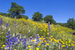 Lupines, California Poppies, and Oak Trees. Spring Lupine and California Poppy wildflowers with White Oak trees, Northern California sierra foothills Stock Image