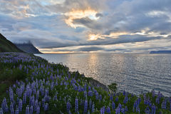 Lupines and coastline Stock Photography