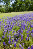 Lupines on Country Landscape Royalty Free Stock Photos