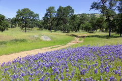 Lupines on Country Landscape Royalty Free Stock Photo