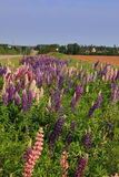 Lupines. Countryside road with a ditch full of wildflowers Royalty Free Stock Image