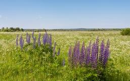 Lupines dans le domaine d'été Photographie stock libre de droits
