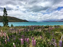 Lupines de floraison par le lac photo stock