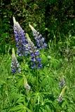 Lupines de florescência nas madeiras Fotografia de Stock