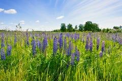 Lupines de la lila en una hierba verde contra la perspectiva del cielo azul con las nubes blancas Imagenes de archivo