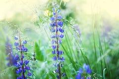 Lupines de las flores salvajes Imagen de archivo