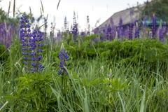 Lupines donkerblauw close-up op een achtergrond van groen en w Royalty-vrije Stock Afbeeldingen