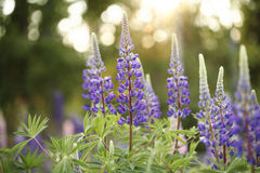 lupines dzicy Obraz Stock