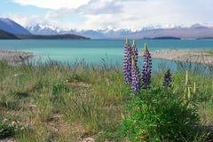 Lupines en la orilla del lago Tekapo Fotos de archivo libres de regalías