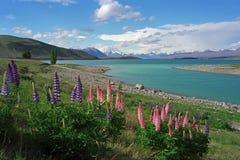 Lupines en la orilla del lago Tekapo Fotos de archivo