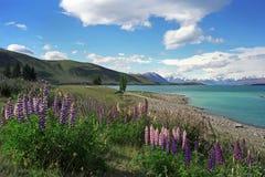 Lupines en la orilla del lago Tekapo Imagenes de archivo