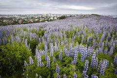 Lupines en ReykjavÃk, Islandia imagen de archivo libre de regalías