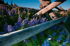 Lupines By The Fenceline Stock Photos