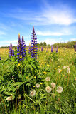 Lupines on field Royalty Free Stock Photo