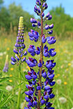 Lupines on field Royalty Free Stock Photography