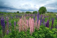 Lupines on field Stock Photography