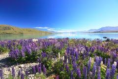 Lupines field. Summer lupines blossom at lake Tekapo, New Zealand Royalty Free Stock Photography