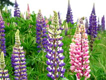Lupines in a Field Royalty Free Stock Photography