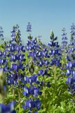 Lupines field Stock Photography