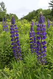 Lupines in Field Royalty Free Stock Photos