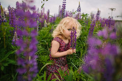 Lupines field and girl Stock Photography