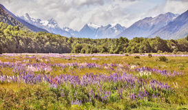 Lupines field landscape, New Zealand Royalty Free Stock Photography