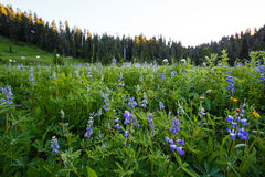 Lupines. Field in Mt Rainier National Park Royalty Free Stock Photography
