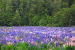 Lupines field, New Zealand Royalty Free Stock Photography