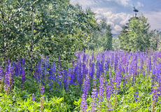 Lupines field Stock Image