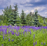 Lupines field Royalty Free Stock Photos