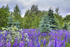 Lupines field Royalty Free Stock Photo