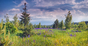 Lupines field Royalty Free Stock Image