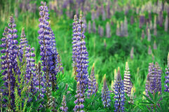 Lupines fleurissants Photo libre de droits