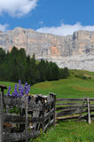 Lupines flowers in Dolomites Val Badia Alta Badia Royalty Free Stock Photo