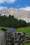 Lupines flowers in Dolomites Val Badia Alta Badia Royalty Free Stock Photography
