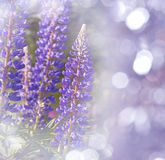 Lupines flowers Stock Photos