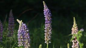 Lupines Flowers Sun Evening stock video