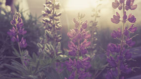 Lupines Royalty Free Stock Image