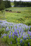Lupines and horses in Iceland royalty free stock photo