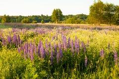 Lupines i ett fält i solljuset Arkivfoton