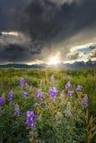 Lupines i Tetonsen Royaltyfria Foton